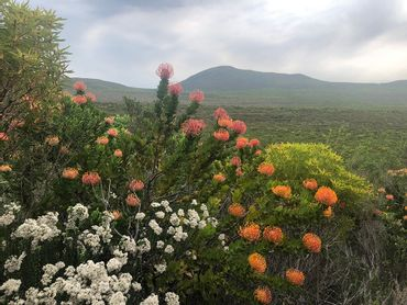 The view from Pinnacles in September – a flush of oranges, whites and yellows – Leucadendrons, Leucaspermum's, and proteas are just some of the genera within the family of Proteaceae.