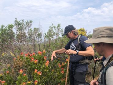 Sean Privett, founder of the Fynbos Trail, explains the role of the bird pollinators  on these Mimetes Pagoda's