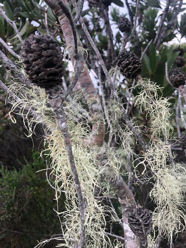 Old Man's Beard – a canary species indicator for excellent air quality.